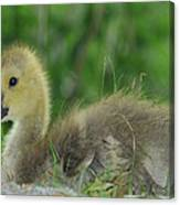 Baby Goose Takes A Break Canvas Print