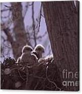 Baby Hawks Canvas Print