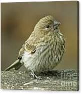 Baby House Finch Canvas Print
