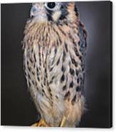 Baby Kestrel Falcon Canvas Print