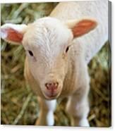 Baby Lamb Canvas Print