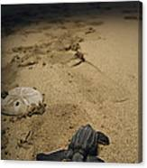 Baby Leatherback Turtle On Beach Canvas Print