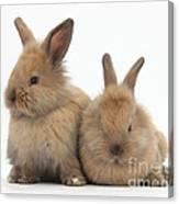 Baby Lionhead Rabbits Canvas Print