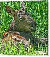Baby Moose Canvas Print