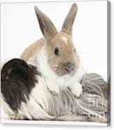 Baby Rabbit And Long-haired Guinea Pig Canvas Print