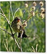 Baby Red Wing Black Bird Calling For Mother Canvas Print