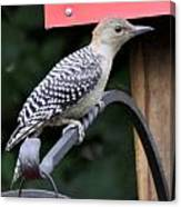 Baby Redbellied Woodpecker Canvas Print