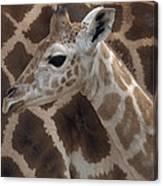 Baby Rothschild Giraffe  Canvas Print