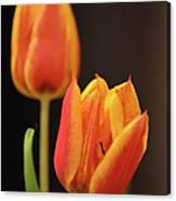 Baby Tulips Close Up Macro Canvas Print