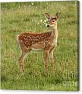 Baby Whitetail Fawn In A Spring Meadow Canvas Print