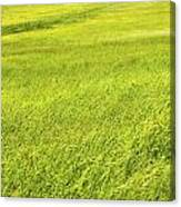 Background Of Green Summer Hay Field In Maine Canvas Print