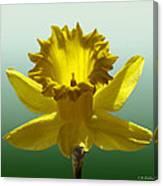 Backlit Daffodil Canvas Print