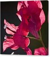 Backlit Pink Canvas Print