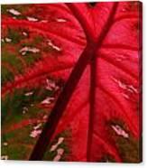 Backlit Red Leaf Canvas Print
