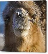 Bactrian Camel Camelus Bactrianus Canvas Print