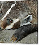 Badger On The Loose Canvas Print