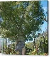 Balboa Tree Canvas Print