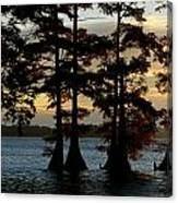 Bald Cypress Trees Growing Canvas Print