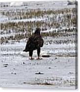 Bald Eagle - Immature - 0031 Canvas Print