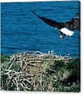 Bald Eagle And Chicks Canvas Print