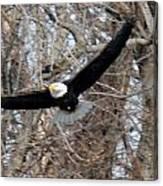 Bald Eagle At Full Wingspan Canvas Print