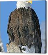 Bald Eagle Haliaeetus Leucocephalus Canvas Print