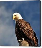 Bald Eagle Homer Alaska Canvas Print