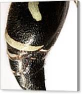 Bald-faced Hornet Stinger Canvas Print