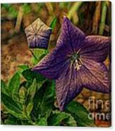 Balloon Flower - Antiqued Canvas Print