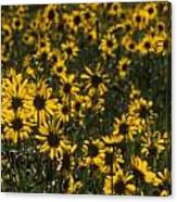 Balsamroot Field In Grand Teton Canvas Print