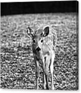 Bambi In Black And White Canvas Print