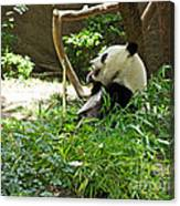 Bamboo Is Tasty Canvas Print