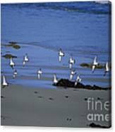 Band Of Seagulls Canvas Print