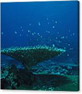 Banded Damselfish Swim Canvas Print