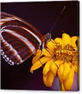 Banded Orange Heliconian Dryadula Phaetusa Canvas Print