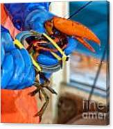 Banding An American Lobster In Chatham On Cape Cod Canvas Print