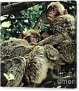 Barbary Apes Macaques Babies Budddies Gang Canvas Print