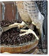 Barbary Falcon Feet Canvas Print