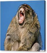 Barbary Macaque Macaca Sylvanus Yawning Canvas Print