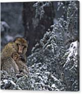 Barbary Macaque Male With Infant Canvas Print