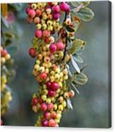 Barberry (berberis Sp.) Canvas Print