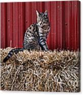 Barnyard Cat Canvas Print