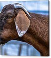 Barnyard Goat Canvas Print