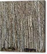 Barren Aspen Canvas Print