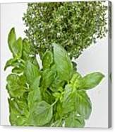 Basil And Thyme Canvas Print