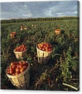 Baskets Of Fresh Tomatoes In A Field Canvas Print
