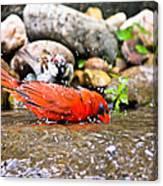Bathing Cardinal Canvas Print