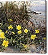 Beach Evening Primrose On Folly Beach - D001782 Canvas Print