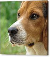 Beagle Gaze Canvas Print