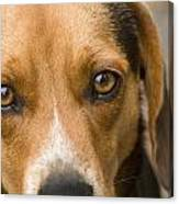 Beagle Hound Dog Eyes Of Love Canvas Print